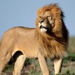 many-african-lions-wild_c3b4186fe4064639
